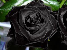 kara gül