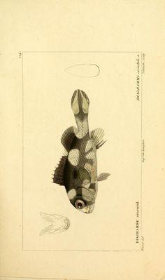 Diagramma orientale. n., Histoire naturelle des poissons, 1828-1849, Biodiversity Heritage Library
