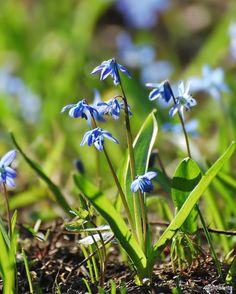 Сад наполняется красками на смену белым подснежникам расцвели голубые коврики из пролесок  #сцилла #пролески #photoaday #первоцветы #цветы #весна #scilla #firstflowers #flower #flowers #flowerslovers #floweroftheday #garden #spring #instaflower #instaspring #nature #instanature #naturelovers #nikon #nikkor #nikonrussia #nikon_owners #bloom #blossom #petals #plants #russia #природа #justophotoday by milawita