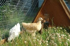 backyard chickens for beginers with a helpful link at the bottom that takes you to a quiz to help pick out what breed of chicken may work best for you