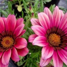Gazania Kiss Rose Flower Seeds (Gazania Rigens) 20+Seeds - Under The Sun Seeds - 1