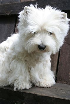 beautiful Westie
