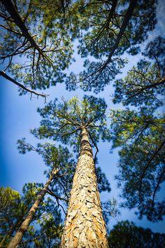 Fine Art Print  forest pine tree blue sky by photographybyVena, $30.00