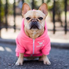 """Luella, French Bulldog (7 y/o), Tompkins Square Park, New York, NY • """"She's my best salesgirl – all the millennials quit. She's also famous for kissing a horse on Wall Street. She got 3.5 million..."""