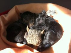 Rideau Valley Wildlife Sanctuary - Eastern grey squirrel siblings snuggling in the sunlight