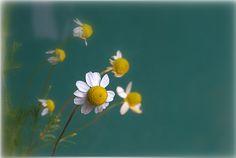 Photograph Matricaria chamomilla - Camomilla by Vincent  on 500px
