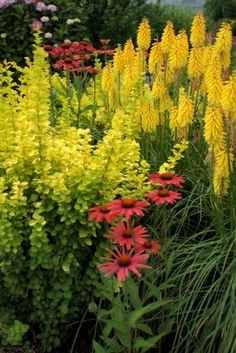 'Popsicle' kniphofia series is a nonstop-flowering breakthrough