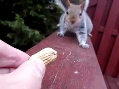 Белка стесняется взять арахис, замедленная съемка
