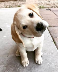 """Determine additional relevant information on """"labrador puppies""""x. Look at our website. Labrador Puppies For Sale, Rottweiler Puppies, Cute Puppies, Dogs And Puppies, Golden Retriever, Retriever Dog, Labrador Retrievers, Pet Dogs, Dog Cat"""