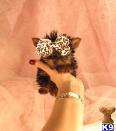 Find Yorkshire Terrier (Yorkie) Dogs & Puppies for sale and adoption. Back to Yorkies. Teacup Puppies For Sale, Cute Puppies, Cute Dogs, Yorkies For Sale, Dogs For Sale, Yorkie Puppy, Chihuahua, Husky Puppy, Yorkie Teacup Puppies