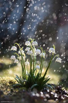 Spring snowdrops 5 by Alenka Krek