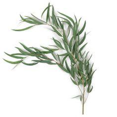 willow eucalyptus 5 bunches $85