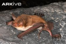 1000 images about bats on pinterest mammals close up for Fish eating bat