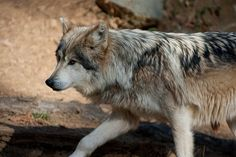 Wolf by Tancread | Flickr