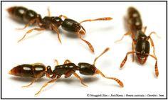 Ponera coarctata :: Ouvrières 3mm :: Fourmis primitive Ant Species, Photos, Pictures, Primitive, Exotic, Board, Plants, Animals, Ant Colony