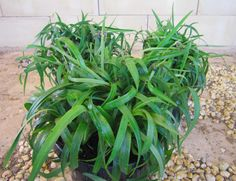 Sunrise cordyline is a heat tolerant plant with vivid pink and twisty dianella with its compact twisting foliage performs best in tropical sub tropical climates and is good for coastal situations thecheapjerseys Image collections