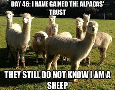 "* * ALPACA: "" Don'ts looks at him guys, or weez wills burst outs laffin'.!"""