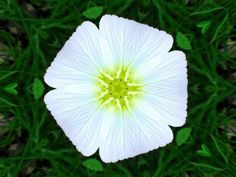 Morning Glory with a kaleidoscope effect.