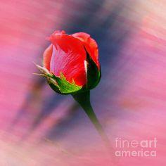 Sunset Rose Bud by Judy Palkimas