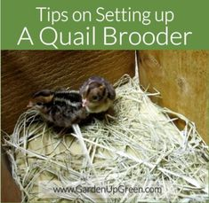 Tips on Setting up a Quail Brooder