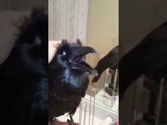The Raven Speaking Quothe him http://www.lakatate.com/index.php/latest-videos/1771-the-raven-speaking-quothe-him?utm_source=social&utm_medium=pin&utm_campaign=daily