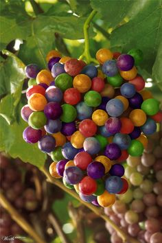 Colorful grapes, just for fun