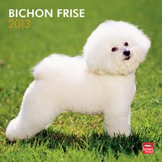 Bichon Frise Wall Calendar: The Bichon Frise is a small, sturdy, intelligent dog with an appealing disposition. This tiny bundle of energy, with its fluffy white coat and bright eyes, stars in this charming 2013 calendar.  $14.99  http://calendars.com/Bichon-Frises/Bichon-Frise-2013-Wall-Calendar/prod201300004946/?categoryId=cat10054=cat10054#