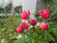 Dick Koster rose