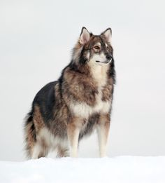 """ The Utonagan is a breed of dog that resembles a wolf, but in fact is a mix of three breeds of domestic dog: Alaskan Malamute, German Shepherd, and Siberian Husky."