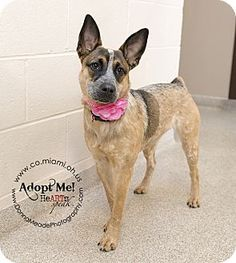 URGENT!  I am at a kill shelter in Troy, OH - Australian Cattle Dog Mix. Meet Meesha a Dog for Adoption.