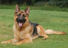 German Shepards -- CC Protection Dog Trainee  http://ccprotectiondogs.com/german-shepherd-protection-dogs/