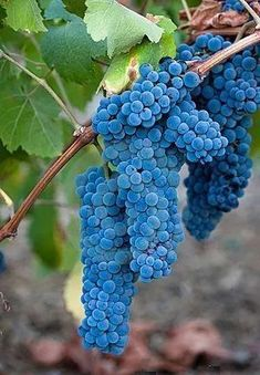 Do you enjoy grapes and wine but not their high price? Enjoy the fruit & make your own wine by growing a grape tree or grapevine in your backyard!