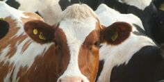 Tell Canadian Government to Move Forward with Dairy Farm Prosecution!