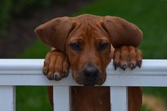 Rhodesian Ridgeback. I finally found a dog breed that could very well be my puppy! This breed has the curly tail and everything!