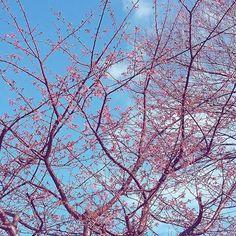 【ranahishi】さんのInstagramをピンしています。 《空色&さくらいろ ~もうこんなに咲きはじめてききたよ🌸桜の花ってワクワクしちゃうのよね😍~ 💙🌸✨💙 #おはよう#1月 #花#桜#青空#雲 #わくわく#湘南#空 #はなまっぷ#日本 #january#goodmorning #cherryblossom#sky#bluesky #clouds#blue#flowers#flower #good_jobshot#japan》