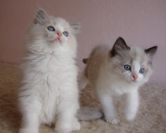 Oberon (Blue-Point Bicolor) and Quagmire (Seal-Point Bicolor) - our Ragdoll kittens.