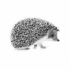 Hedgehog photoprint fabric for pillow. Fotoprint Igel 64x68 cm