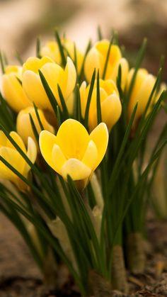 crocuses, flowers, leaves, earth, primroses, spring
