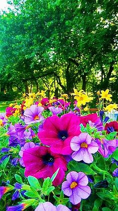 Bright and Colorful Petunias Calibrachoa for long lasting color.Plant Bright and Colorful Petunias Calibrachoa for long lasting color. Colorful Garden, Colorful Flowers, Flower Colors, Petunias, Flower Landscape, My Secret Garden, Dream Garden, Garden Inspiration, Beautiful Gardens