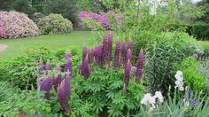 Lupines Longwood Gardens by Susan Harris