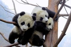 The Sichuan Giant Panda Bases and Sanctuaries - The Atlantic