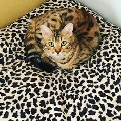 Daisy our long haired Bengal #bengal #bengals #bengalcats