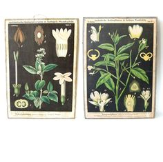 Two original botanical lithograph from the end of the 19th century, used in for educational purposes in universities. Mounted on cardboard all in original