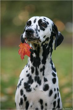 This Dalmatian found a leaf, what a helpful dog Cute Puppies, Cute Dogs, Dogs And Puppies, Doggies, Corgi Puppies, Beautiful Dogs, Animals Beautiful, Animals And Pets, Cute Animals