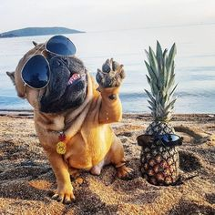 """Do you like Piña Coladas, and gettin' caught in tha Rain?"", French Bulldog on a VaCay ; }"