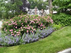 Garden Design Roses knockout roses and catmint: good combo - its-a-green-life | home