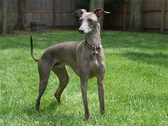 Italian greyhound facts. http://www.animalmayhem.com/italian-greyhound-facts-you-should-know/