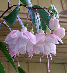 Fuchsia Hybrida Seeds,Bonsai Lantern Flowers seeds, perennial flower For home Garden Fuchsia Flower, My Flower, Pink Flowers, Flower Pots, Most Beautiful Flowers, Exotic Flowers, Pretty Flowers, Flowers Perennials, Planting Flowers