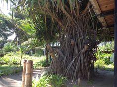 Un extraño árbol Cojimíes Ecuador