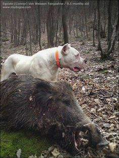 16 Best Hog dogging images in 2016 | Hog dog, Hog hunting